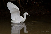 "Great Egret ""swanning"""